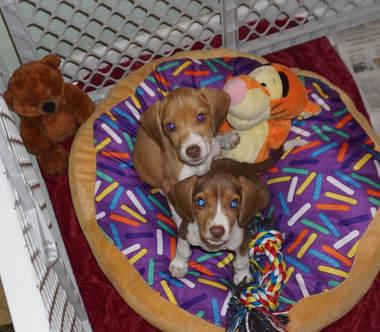 Wonderful Wisconsin Beagle Adorable Dog - dsc02800  You Should Have_7410097  .jpg?1524356342