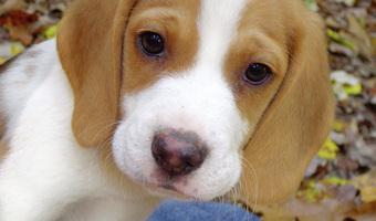 Sunshine Acres Beagle Puppies Sunshine Acres Beagle Puppies