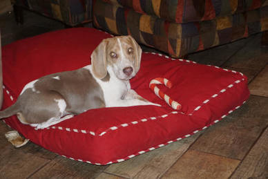 Sunshine Beagle Puppies - Sunshine Acres Beagle Puppies